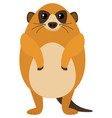 meerkat on white background vector image