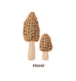 morels mushrooms isolated on white background vector image vector image