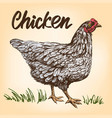 chicken hand drawn realistic vector image