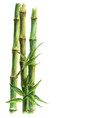 green bamboo plants isolated on white background vector image