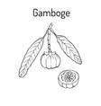gamboge garcinia cambogia medicinal plant vector image vector image