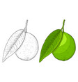 lime fruit with leaf hand drawn colored sketch vector image vector image