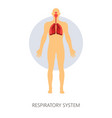 respiratory system normal breathing lungs and vector image vector image