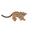 angry cougar cub isolated vector image vector image