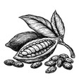 cocoa leaves and fruits cocoa beans hand drawn vector image