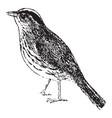 ovenbird vintage vector image vector image
