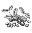 peanuts and leaves hand drawn sketches vector image