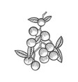 mistletoe drawing vector image vector image