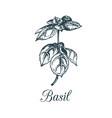 basil branch hand drawn