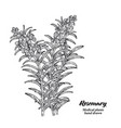 rosemary branch with leaves and flowers isolated vector image