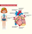 scientific medical human heart bloodflow vector image
