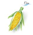 Corn cob vector image