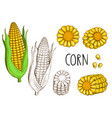 corn isolated on white background vector image vector image
