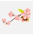 Almond or apricot branch in blossom isolated on
