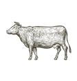 cow sketch hand drawn vintage vector image vector image