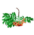 hand drawn rowan tree isolated on white background vector image