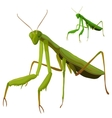 Green grasshopper closeup on white background vector image vector image