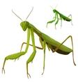 Green mantis closeup on white background