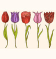 flowers tulips with leaves set of wedding vector image vector image
