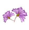 Purple Crape Myrtle Flowers on White Background vector image vector image