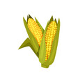 two ripe corn heads in green leaves agricultural vector image