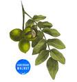 hand drawn branch of walnut vector image vector image