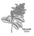 hand drwn amaranth branch with leaves and flowers vector image