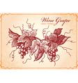 wine grape vector image