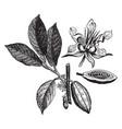 cacao vintage vector image vector image
