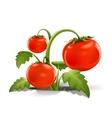 red ripe tomato vector image vector image