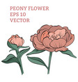 hand drawn peony flower in vector image vector image
