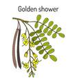 Golden shower or rain tree cassia fistula vector image