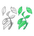 hand drawn sketch of peppermint vector image vector image
