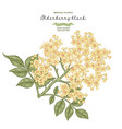 elderflower branch isolated on white background vector image vector image