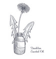 drawing dandelion essential oil vector image vector image