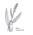 drawing ginger essential oil vector image vector image