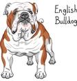 sketch dog English Bulldog breed vector image vector image