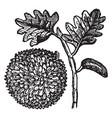 breadfruit vintage vector image