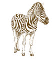 engraving of african zebra vector image vector image