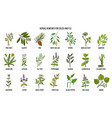 collection of natural herbs for colds and flu vector image vector image