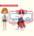 scientific medical blood flow vector image