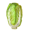picture of Chinese Cabbage vector image