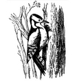woodpecker dryobates major vector image vector image