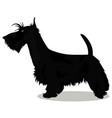 scottish terrier dog vector image