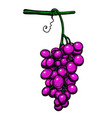 grape branch on white background design element vector image vector image