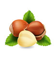 hazelnuts with leaves realistic vector image