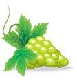 branch of green grape vector image