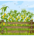 corn field growing maize background summer vector image
