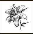lily botanical vector image vector image