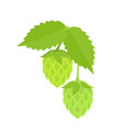 green hops on white background vector image